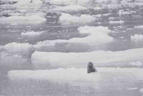 Glacier Bay Alaska Ice Flow With Seals