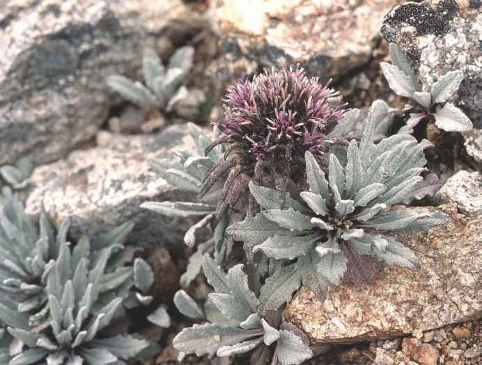 High Altitude Mountain Plant