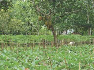 Image Homestead Agroforestry
